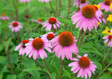 Echinacea Acne Treatments for Teens